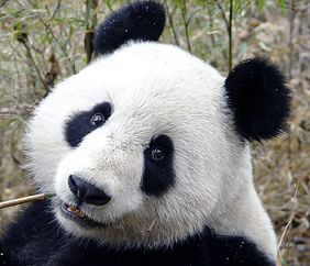 Pandafreund